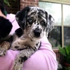 australian shepherd mix puppies for sale keystone english bulldog australian shepherd mix puppies u for