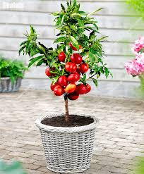 120pcs trees nectarine seeds non gmo sweet fruit