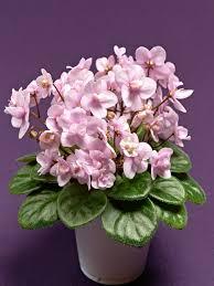 native plants of africa african violet varieties hgtv
