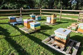 in northeast philly beekeeping thrives the temple news
