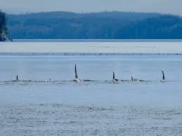killer whales telegraph cove vancouver island pleinairenvr