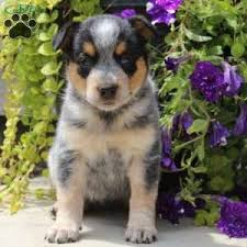 australian shepherd english bulldog mix blue heeler mix puppies for sale greenfield puppies