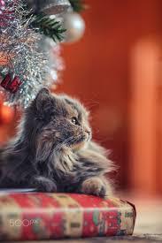 Cat Climbing Christmas Tree Video 1531 Best Christmas Cats Images On Pinterest Christmas Cats