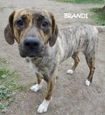 bedlington terrier shaved lapeer mi plott hound meet brandi plott hound mix cute a dog