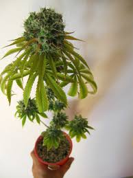 how to get to harvest faster grow weed easy