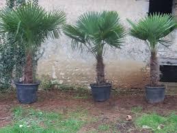 palmier du chili la palmeraie le palmier pas cher