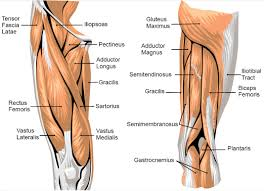 Anatomy Of Human Back Muscles Anatomy Of The Back Muscles And Organ Mopydynipse