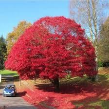 ornamental flowering trees ornamental flowering trees for