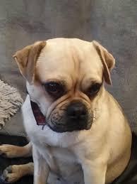 pug x boxer dog sassy u2013 18 month old female pug cross dog for adoption
