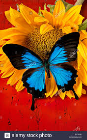 blue butterfly on sunflower on background stock photo