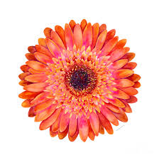 gerbera daisies orange gerbera painting by kirkpatrick