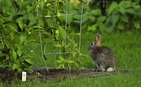 Rabbit Repellent For Gardens by How To Rabbit Proof A Garden