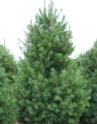 eastern white pine tree for sale fast growing trees