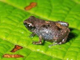 smallest frogs found u2014each tinier than an m u0026m