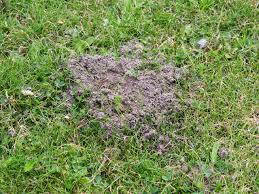 how to prevent the top 10 lawn pests and diseases hgtv