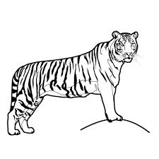 how to draw a tiger for kids tiger line drawing clipart best