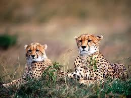 african safari animals amazing african animals endangered animals of africa