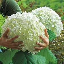 tips for growing hydrangeas gardening pinterest