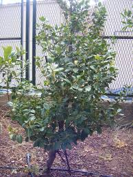 which plant was native to the new world 18 species of holly trees and shrubs