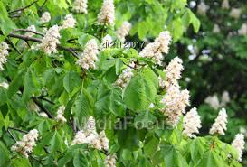 trees with white flowers stock photo branches blossoming chestnut tree white flowers