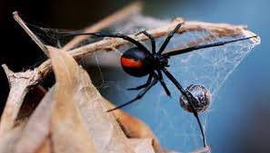 Black Widow Spiders Had A - what happens to black widow spiders during the winter animals
