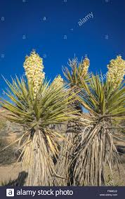 mojave desert native plants blossoming yucca plant joshua tree national park mojave desert