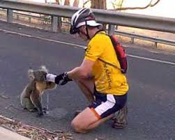 koalas australia koala information photos