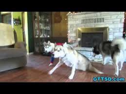Halloween Costumes Husky Dog Husky Puppy Halloween Costume Dog Freezes Funny