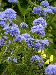 Long Blooming Annual Flowers - rare heirloom u0026 unusual plants