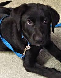 what would you do puppy first service dog in training no non