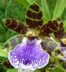 Most Fragrant Plants - fragrant orchids 11 varieties you u0027ve got to try orchidsmadeeasy com