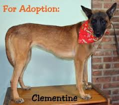 belgian shepherd rescue dogs available k9 u0027s