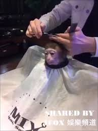 higher quality screencap template monkey haircut know your meme