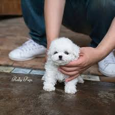 bichon frise instagram rolly pups inc rollyteacuppuppies instagram photos and videos