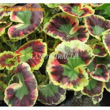 geranium plants geranium seeds plants for sale