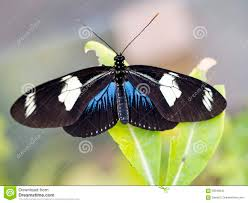 heliconius butterfly black blue and white stock photo
