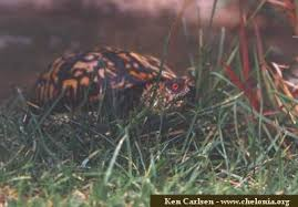 north american box turtles terrapene steve zuppa