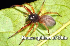 house spiders of ohio seen these lately cleveland com