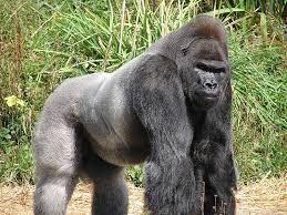 gorilla dream symbol
