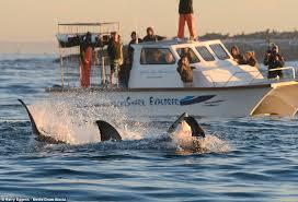 white shark leaps air catch prey false bay