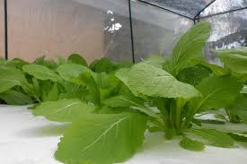 grow pak choi indoors garden culture magazine