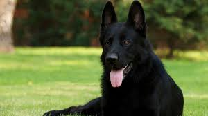 belgian sheepdog breeders in oregon home friends of the animal shelter of st joseph inc