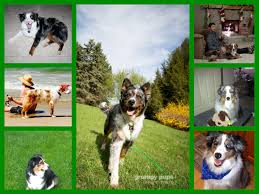 australian shepherd blue heeler aussie rescue in michigan a rescue for australian shepherd dogs
