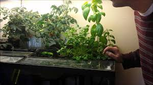 diy home easy aquaponics in your aquarium one month results