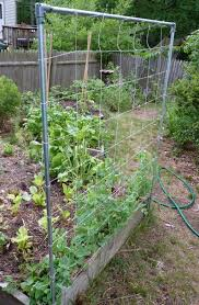 backyard with wire pea trellis building your own pea trellis