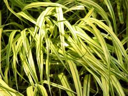 Sweet Flag Herb Ornamental Grasses To Grow In Containers