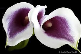 purple calla lilies calla white purple flower macro picasso photograph at