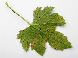 Types Of Plant Disease - common plant diseases types of plant diseases hgtv