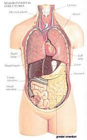 Anatomy Pancreas Human Body Human Body Internal Organs Diagram Female Periodic Tables