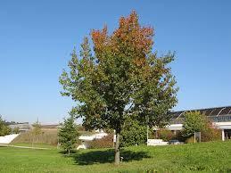 buy oak tree seedlings 99 get free shipping
